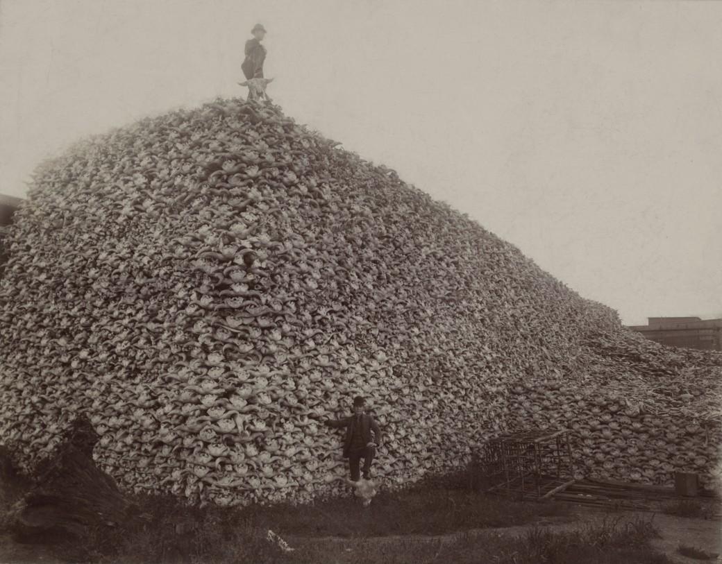 Bison_skull_pile_edit-Wikipedia Commons