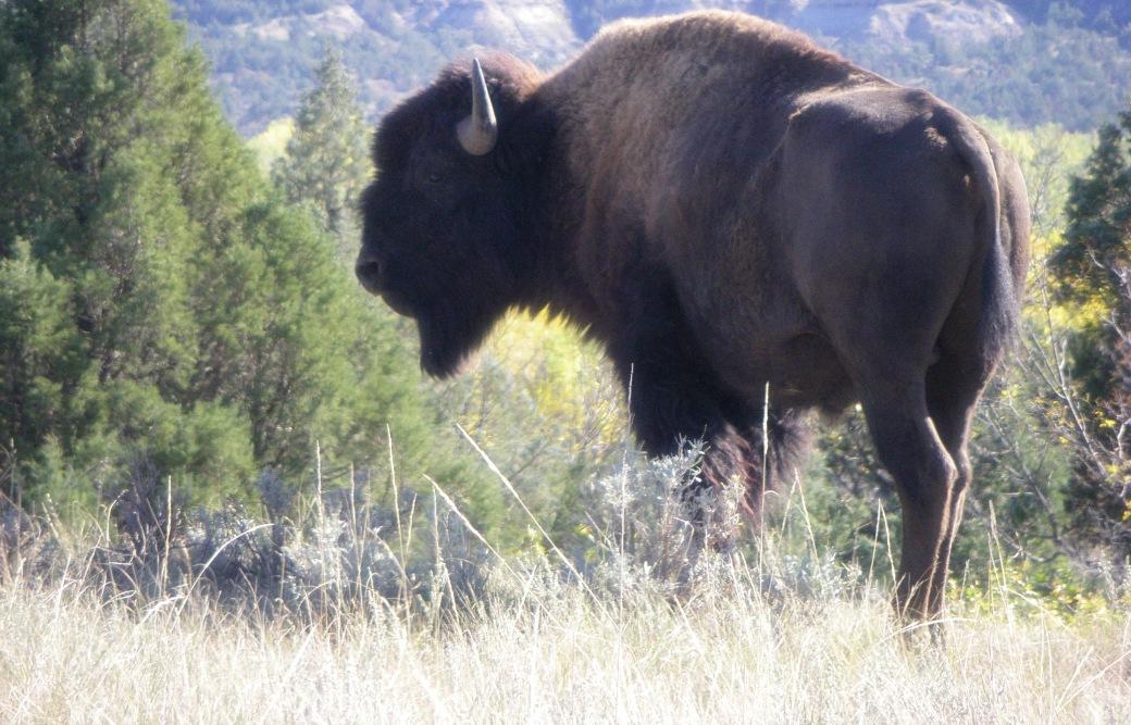 IMGP0103-buffalo_edited