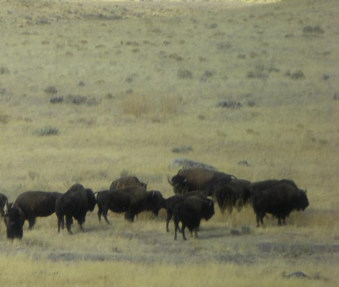 IMGP0332-buffalo_edited
