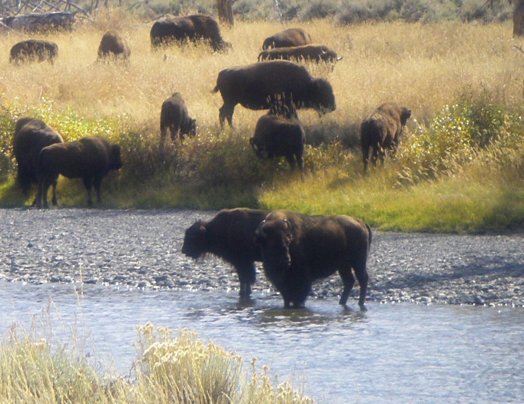 IMGP0398-buffalo_edited