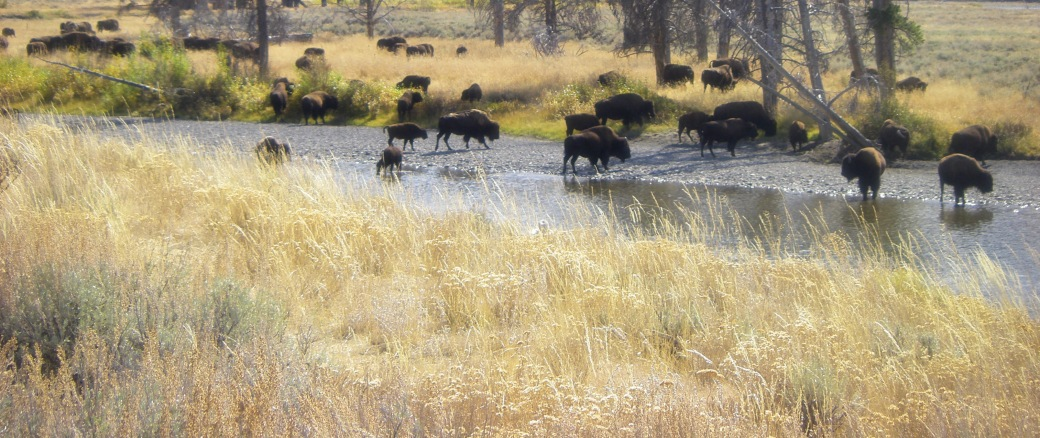 IMGP0403-buffalo_edited